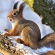 Red squirrel. - Stock Photo