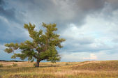 A lone poplar in steppe — Stock Photo