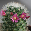 Cactus with pink flower — Stock Photo