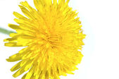 Pissenlit jaune — Photo