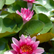 Stock Photo: Pink water lilys