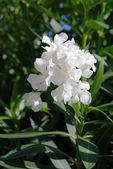 White oleander — Stock Photo