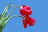 Tulips on blue background — Stock Photo