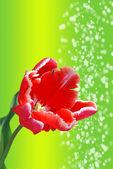 Tulip on green background — Stock Photo