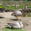 Mountain gooses - Stock Photo