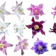 Set aquilegia isolated - Stock Photo