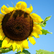 Sunflower in the farm with bees — Photo