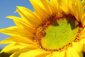 Sunflower in the farm — Stock Photo