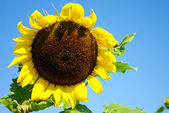 Sunflower in the farm with bees — Stock Photo