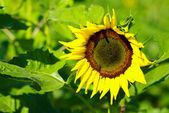 Sunflower in the farm — Stok fotoğraf