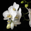 orchidee — Stockfoto