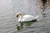 Elegant beautiful swan bird strong wings — Photo