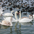 Stock Photo: Pair of swans