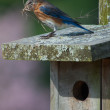 Stock Photo: Bluebird