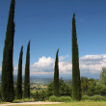 ������, ������: Cypress trees