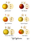 Collage with illustrations of apple varieties, Plate 1 — Stock Photo