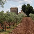 Olive trees in Provence - Stock Photo