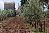 Olive trees in Provence — Stock Photo