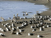 Seagulls and pelicans — Stock Photo