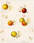 Carte graphique avec des variétés anciennes de pommes — Photo