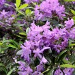 Stock Photo: Violet rhododendron blossoms