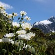 Stock Photo: Mount Cook Lilies (Ranunculus lyalli)