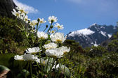 Mount Cook Lilies (Ranunculus lyalli) — Stock Photo