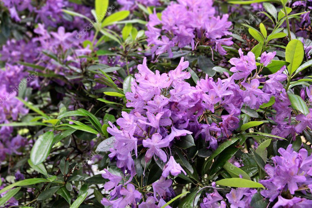 fiori di rododendro viola foto stock cmfotoworks 9943267. Black Bedroom Furniture Sets. Home Design Ideas