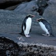 Stock Photo: Fiordland Crested Penguin (Eudyptes pachyrhynchus)