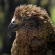 Kea (Nestor notabilis) in New Zealand — Stock Photo