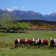 Stock Photo: Cattle herd in Eglinton River Valley