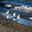 Stock Photo: Seagulls at waterside of Te Anau, New Zealand