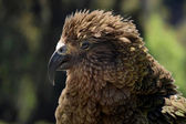 Kea (Nestor notabilis) in New Zealand — Stock Photo