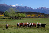 Cattle herd in the Eglinton River Valley — Stock Photo
