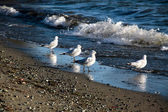 Seagulls at the waterside of Te Anau, New Zealand — Stock Photo