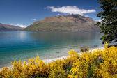 Broom bushes on the banks of Lake Wakatipu — Stock Photo