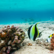 Stock Photo: Moorish idol( Zanclus cornutus)