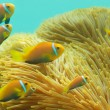 Stock Photo: Many Maldivian clownfishes