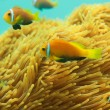Beautiful clownfishes — Stock Photo #9630556