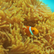 Stock Photo: Anemones with small clownfishes