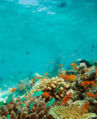 Resif üzerinde küçük balıklar kolonisi — Stok fotoğraf