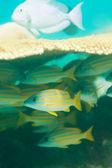 Ryby sweetlips, skrytí — Stock fotografie
