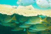 Nascondendo i pesci sweetlips orientali — Foto Stock