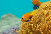 Couple clownfishes — Stock Photo
