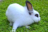 Lapin blanc sur l'herbe — Photo