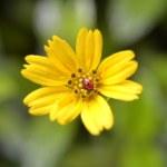 Ladybug on yellow flower's petals — Stock Photo