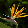 Bird of Paradise flower on dark background — Stock Photo #8511585