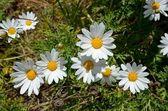 Bloom daisy — Stock Photo