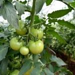 Tomato plant — Stock Photo #8316727