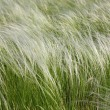 Stock Photo: Feather-grass in steppe